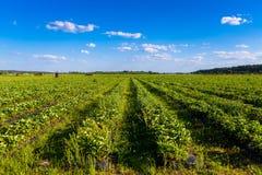 Rader av jordgubbeväxter i ett jordgubbefält Arkivfoton
