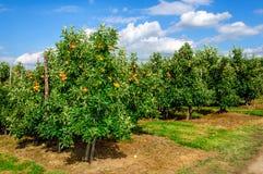 Rader av låga äppleträd och mogna röda äpplen Royaltyfria Bilder