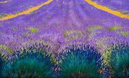 Rader av lavendel försvinner till oändligheten Arkivbild