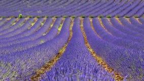 Rader av lavendel, Provence Royaltyfria Bilder