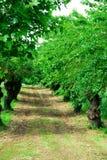 Rader av mullbärsträdträd, med många år, nära Vicenza i Veneto (Italien) Arkivfoton