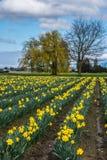 Rader av påskliljan blommar på lantgård royaltyfria foton