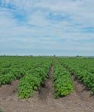 rader av potatisar Arkivfoto