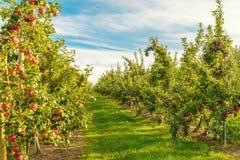 Rader av röda äppleträd royaltyfri fotografi