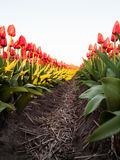 Rader av röda orange tulpan Royaltyfri Fotografi