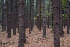 Rader av sörjer träd Arkivfoto
