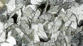 Rader av sammanträdevit och svart gjorde randig fjärilar stock video