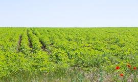Rader av skördar på ett grönt fält Arkivbilder