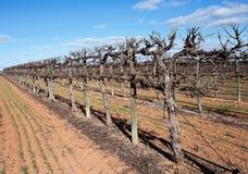 Rader av slingra sig Chardonnay vinrankor Arkivbilder