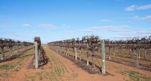 Rader av slingra sig Chardonnay vinrankor mot blå himmel Fotografering för Bildbyråer