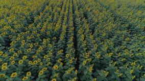 Rader av solrosor, flyg över fält med gula blomningväxter i ultrarapid arkivfilmer