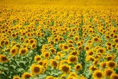 Rader av solrosor i ett fält som bakgrund, härligt sommarlandskap Arkivbild