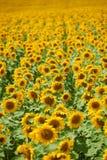 Rader av solrosor i ett fält som bakgrund, härligt sommarlandskap Fotografering för Bildbyråer