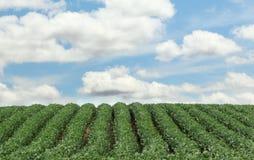 Rader av Soybeans Arkivfoton