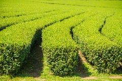 Rader av teträd i dalen på kinesiskt te brukar Det härliga fältet för grönt te i dalen under blå himmel och vit fördunklar fred arkivfoto