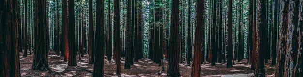 Rader av träd på redwoodträdet Forest Warburton i den Yarra dalen Melbourne Australien royaltyfria bilder