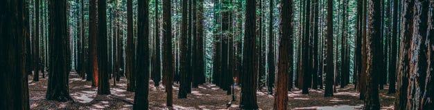 Rader av träd på redwoodträdet Forest Warburton i den Yarra dalen Melbourne Australien arkivbild
