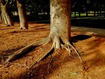 Rader av träd parkerar in med rotar att klibba ut ur jordning Royaltyfri Fotografi