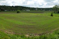 Rader av unga groddar på fältet Arkivfoton