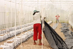 Rader av unga pelargonväxter i ett växthus Udonthani Arkivbild