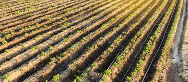 Rader av unga potatisar v?xer i f?ltet Droppbevattning Jordbruksmark ?kerbrukt landskap Lantliga kolonier Lantg?rdjordbruksmark royaltyfri foto