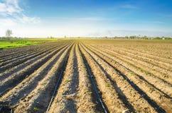 Rader av unga potatisar v?xer i f?ltet Droppbevattning ?kerbruk liggande Lantliga kolonier Lantg?rdjordbruksmarklantbruk fotografering för bildbyråer