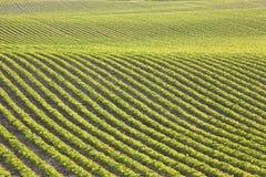 Rader av unga sojabönor i eftermiddagsolljus Fotografering för Bildbyråer
