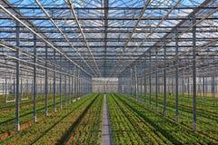 Rader av unga växter som växer i växthuset Arkivbilder
