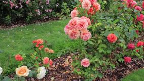 Rader av väl mulched rosor i Stillahavs- nordvästlig trädgård stock video