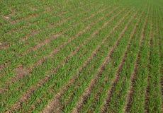 Rader av växa för gräs för gröna åkerbruka groddar för fält nya nytt Royaltyfria Bilder