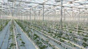 Rader av växter i ett stort växthus Kameran skjuter uppifrån lager videofilmer