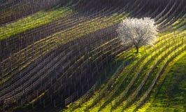 Rader av våren Början av våren och det första blomningträdet Vit Apple-träd och linje av vingårdar Royaltyfri Foto