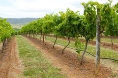 Rader av vines som sträcker in i avståndet Arkivfoton