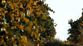 Rader av vingård- och vindturbiner stock video