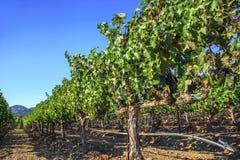 Rader av vingårdar Royaltyfri Bild