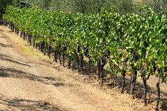Rader av vingårdar i Tuscany Slight blur i löpare för att visa rörelse Royaltyfri Fotografi