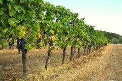 Rader av vingårdar i Tuscany Slight blur i löpare för att visa rörelse Arkivbilder