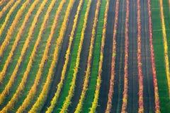 Rader av vingårddruvavinrankor för germany för höst färgrika för rhine liggande vingårdar dal Druvavingårdar av södra Moravia i T royaltyfri fotografi
