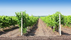 Rader av vingården