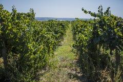 Rader av vingården, innan att skörda Fotografering för Bildbyråer