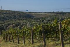 Rader av vingården, innan att skörda Arkivfoto