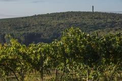 Rader av vingården, innan att skörda Royaltyfria Bilder