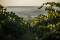 Rader av vingården, innan att skörda Royaltyfria Foton
