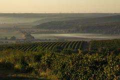 Rader av vingården, innan att skörda Royaltyfri Bild