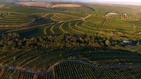 Rader av vingården, innan att skörda, surrsikt Arkivfoton