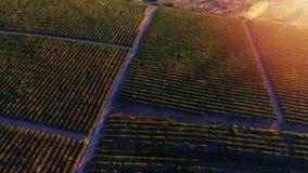 Rader av vingården, innan att skörda, surrsikt Fotografering för Bildbyråer