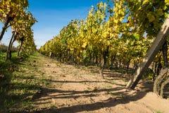 Rader av vingården, når att ha skördat Arkivbilder