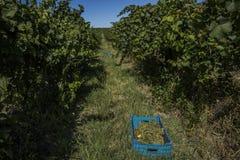 Rader av vingården och vita druvor i en spjällåda Royaltyfri Bild