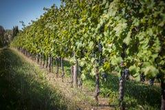 Rader av vinrankan av rött vin Arkivfoton