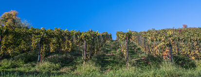 Rader av vinrankan i en vingård i ticino Royaltyfri Bild